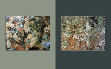 Lichen Elements 13 and 14